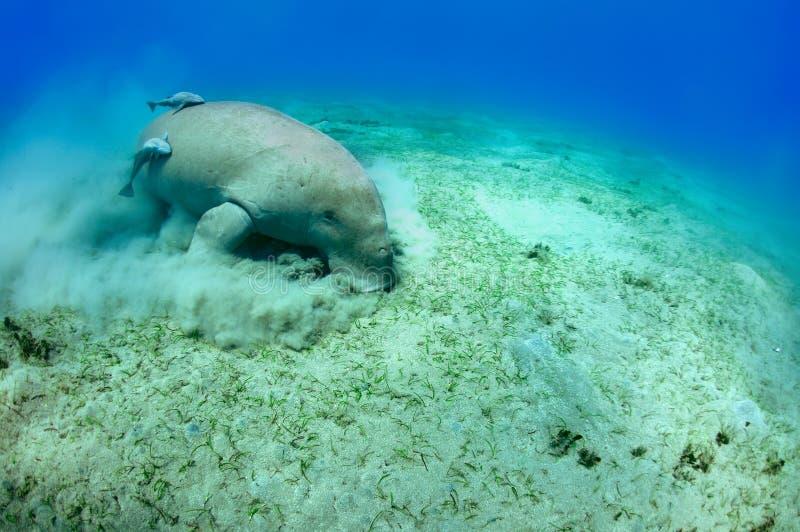 Manatee. Peaceful manatee swimming underwater. Red sea. egipt royalty free stock photos