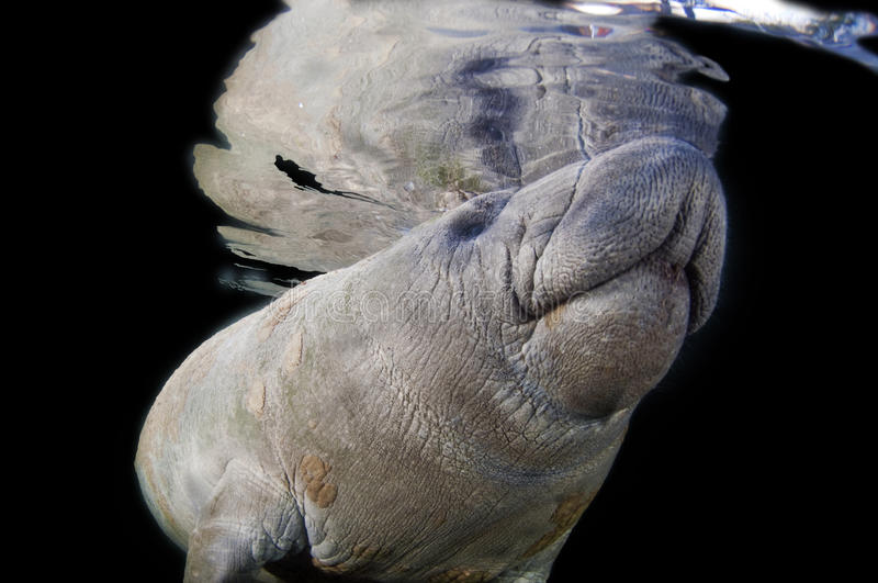 Manatee. A manatee on a black background stock photography