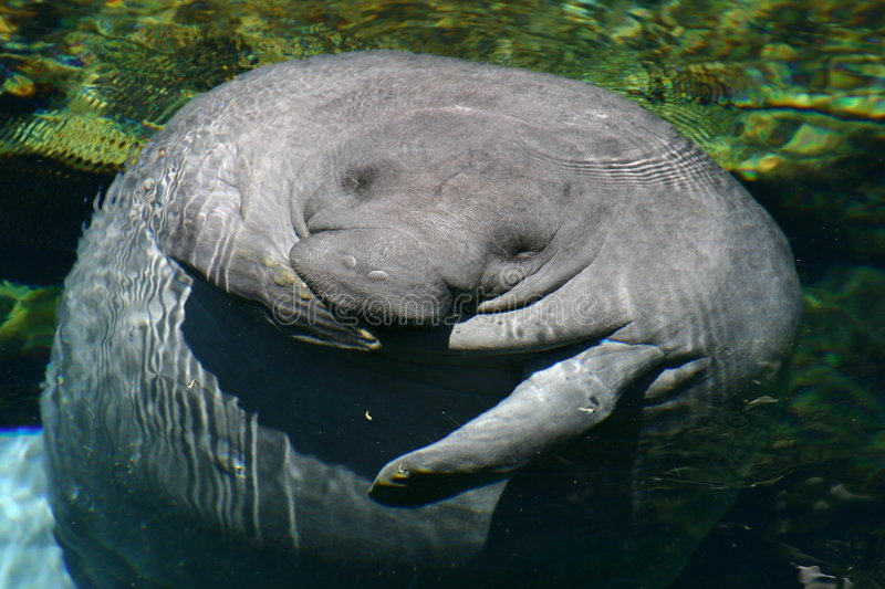 Download Manatee stock image. Image of laugh, endangered, manatee - 277963