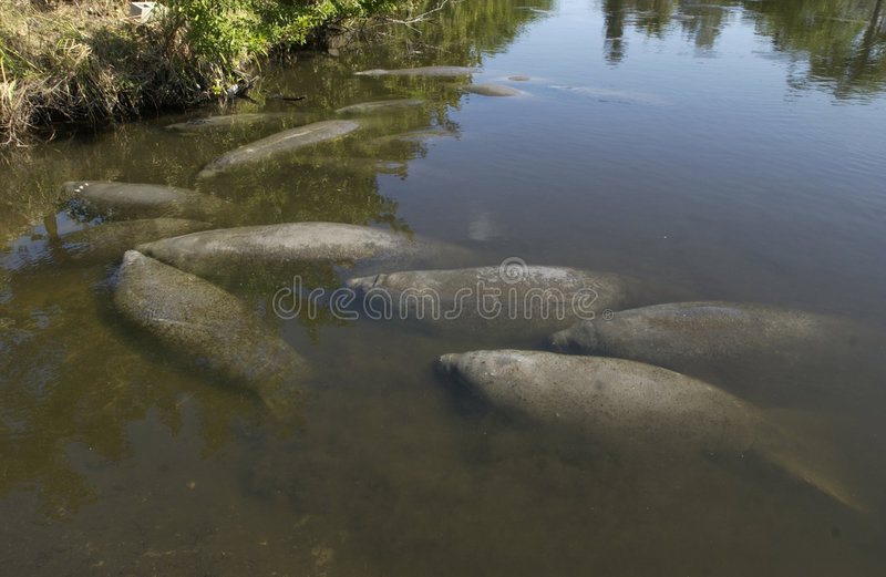 Manatee. S gather in a canal in Satellite Beach, Florida royalty free stock photos