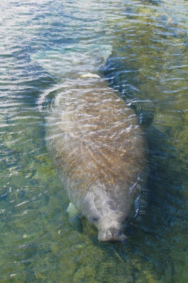 Manatee. Coming out for a breath of air royalty free stock photos