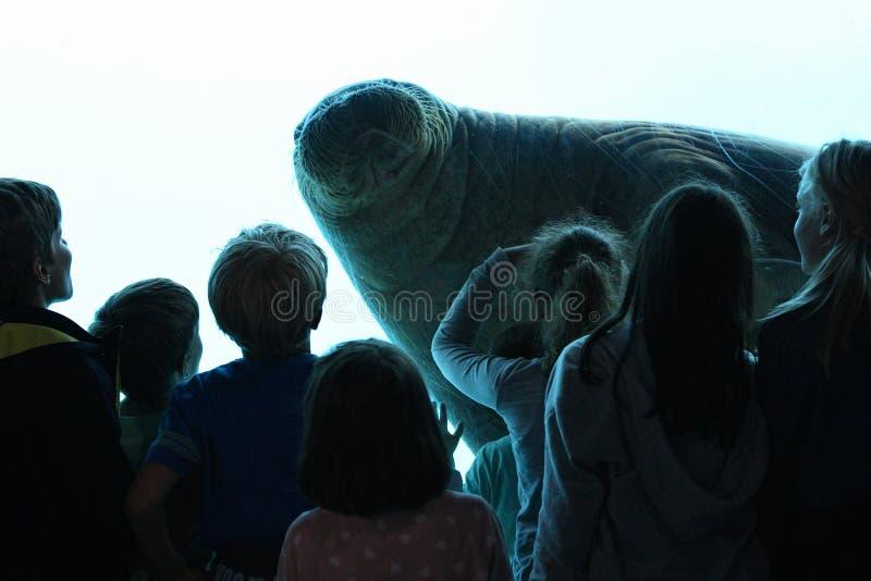 Manatee asombroso y gigante en la piscina de agua azul grande delante de niños fotos de archivo