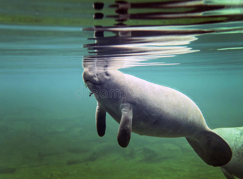 Manatee Baby Surfacing for Air. A baby manatee surfaces for air in the clear freshwaters of Blue Springs Park river run to St. John`s River in Florida royalty free stock images