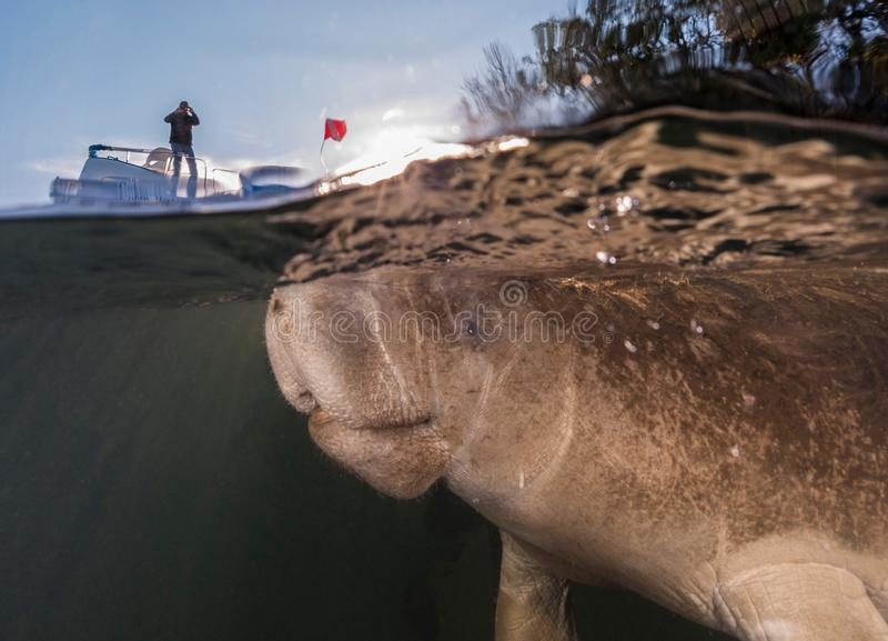 Manatee and boat. This manatee `photobombed` me when I was taking an over/under shot of our boat. Photographed near Homosassa Springs Florida royalty free stock photos