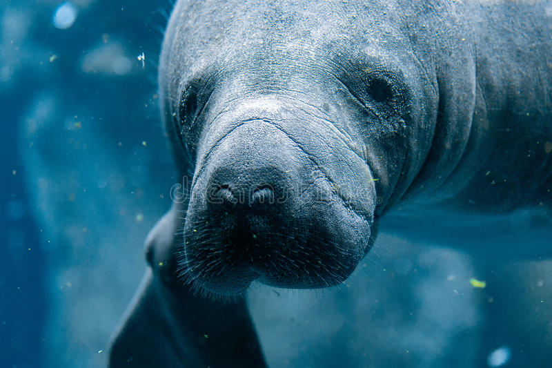 Manatee close up portrait looking at you. Manatee close up portrait underwater royalty free stock image