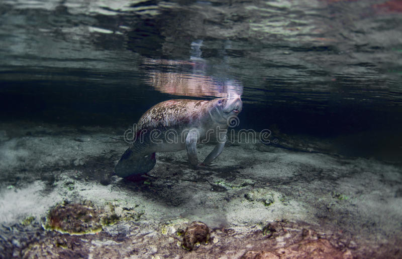 Manatee. A manatee coming up for a breath of air royalty free stock photos