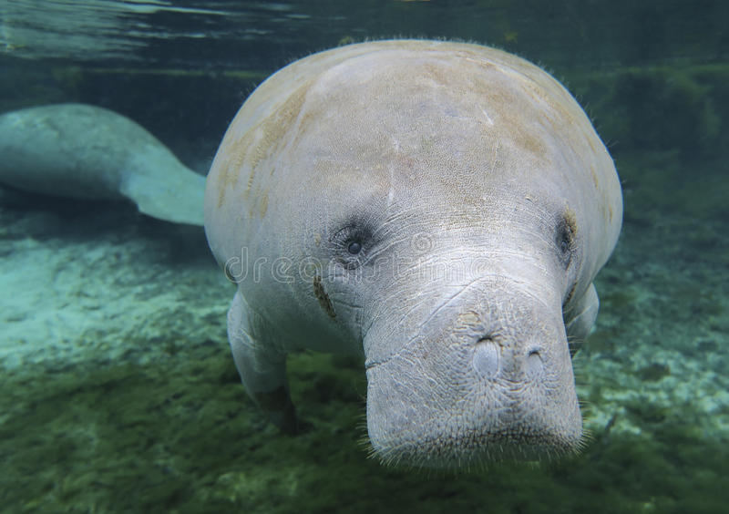 Manatee Curiosity - Fanning Springs. A curious juvenile Manatee comes in for an up close look as a fellow manatee feeds in the back ground in the clear stock photo