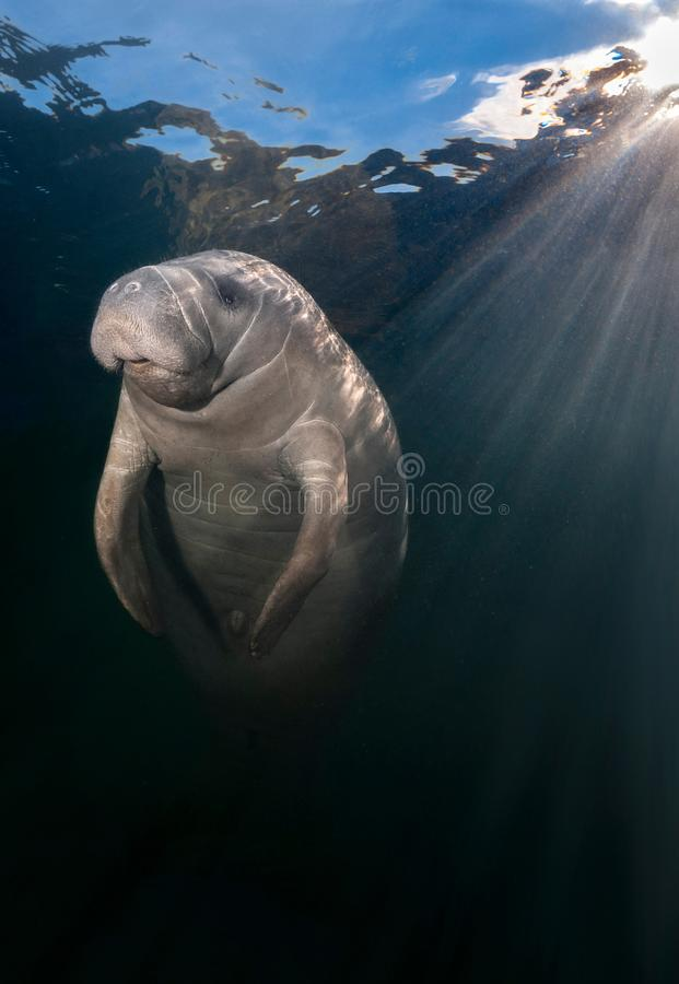 Manatee illuminated by underwater sunbeams. This manatee didn`t seem to have a care in the world as it warmed itself in the warmth of morning sunbeams on a stock images