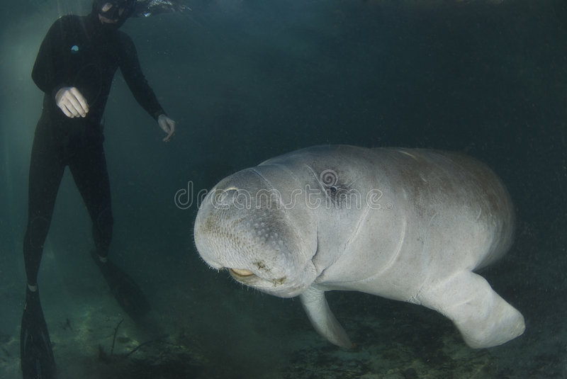 Manatee and Diver. A diver watches as a florida manatee (Trichechus manatus latirostrus) swims by in the springs of Crystal River, Florida stock photography