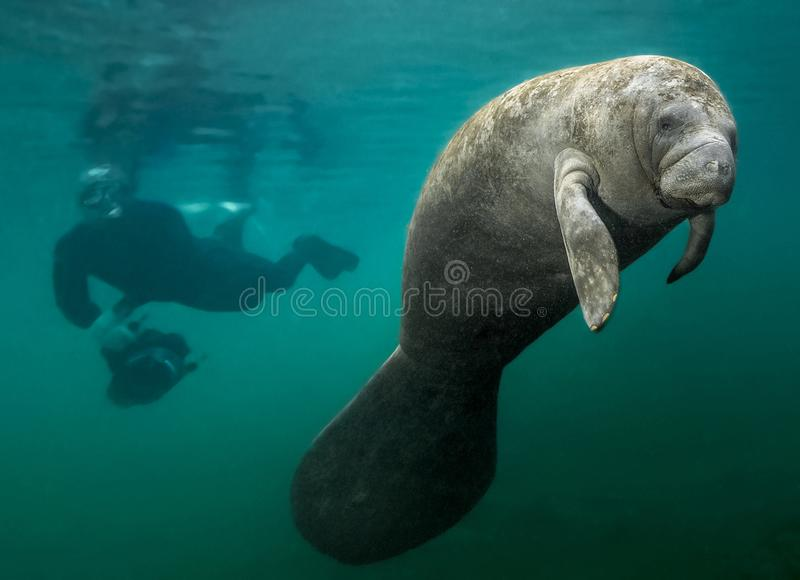 Manatee and Diver. This manatee could not care less about the diving photographer behind him. In fact, it looks like the diver forgot about his camera as he got royalty free stock photography