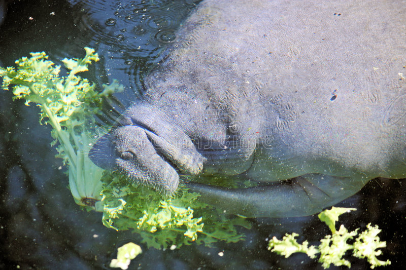 Manatee eating. Manatee surfaces to eat lettuce royalty free stock images