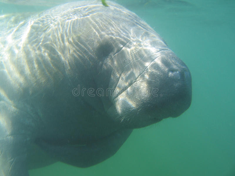 Manatee. In front of diver watching stock image