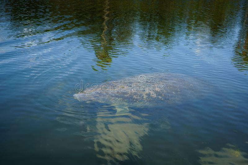 Manatee. Approaches a boat that is on the Halls River in Homosassa, Florida stock photos