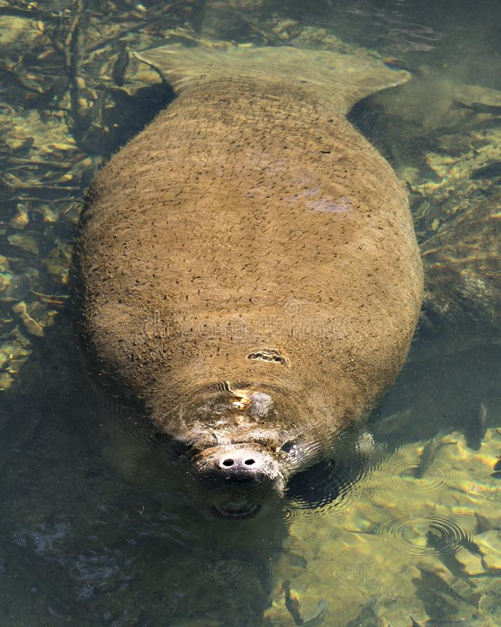 Manatees Stock Photos.   Manatee close-up profile view marine mammal. Picture. Portrait. Image. Photo. Manatee marine mammal displaying its nostril, eyes, paddle royalty free stock images