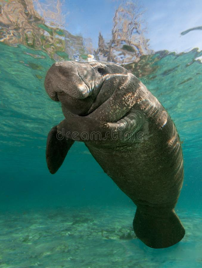 Resting Manatee. Manatee photographed in crystal clear Florida Spring near King`s Bay royalty free stock images