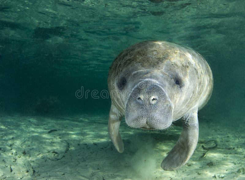 Manatee Portrait. A manatee (Trichechus manatus latirostrus) swims along underwater in the springs of Crystal River, Florida