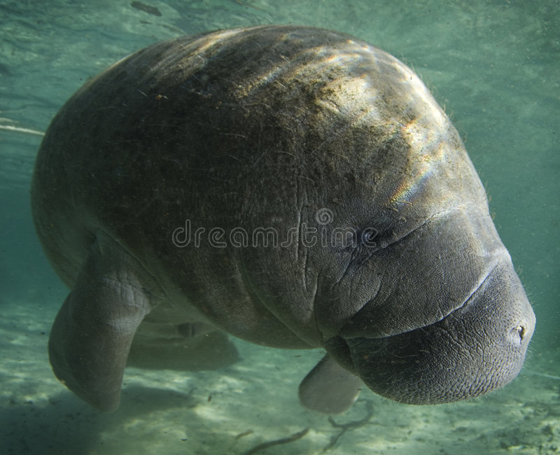 Manatee Profile. A Florida manatee (Trichechus manatus latirostrus) shows his good side in the springs of Crystal River, Florida stock photography