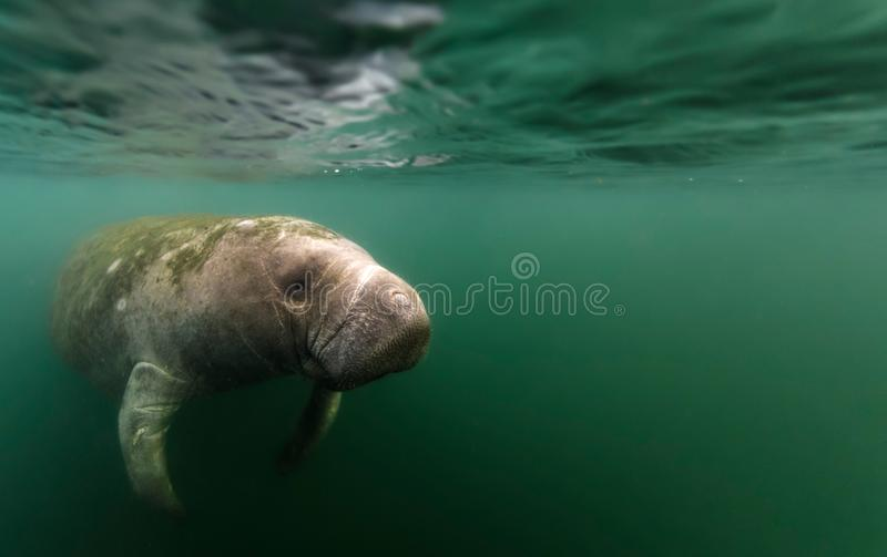 Manatee reflected under water`s surface. Reflected by the water`s surface, this old manatee swam over to me motivated by curiousity or the desire for a nice royalty free stock images