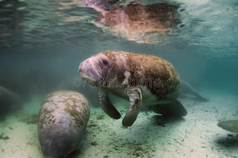 Manatee. Rest in groups in warm water royalty free stock photos