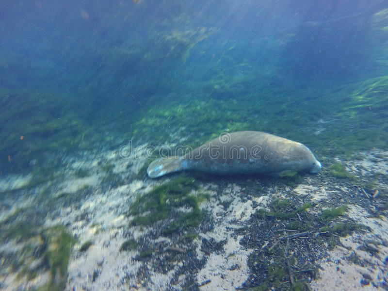 Manatee. Seacow springs water stock photography