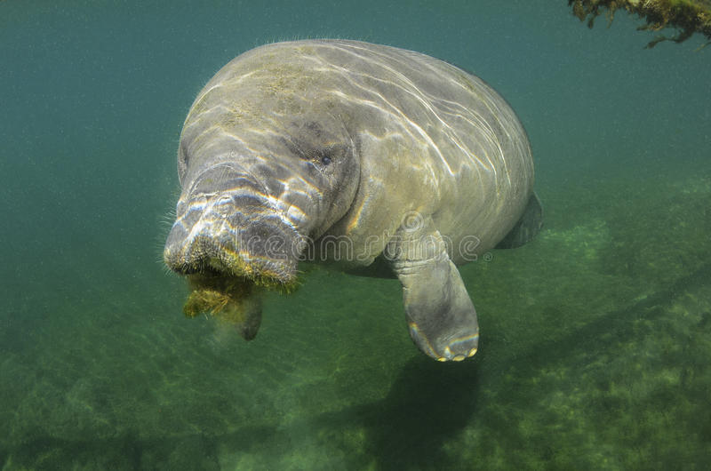 Manatee (Sirenia). Cute Manatee (Sirenia) on the Cristal river , Florida, USA stock photos