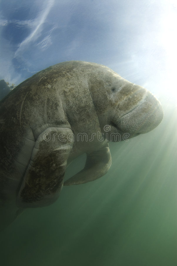 Manatee and Sky. An endangered Florida manatee (Trichechus manatus latirostrus) from below in the springs of Crystal River, Florida royalty free stock image