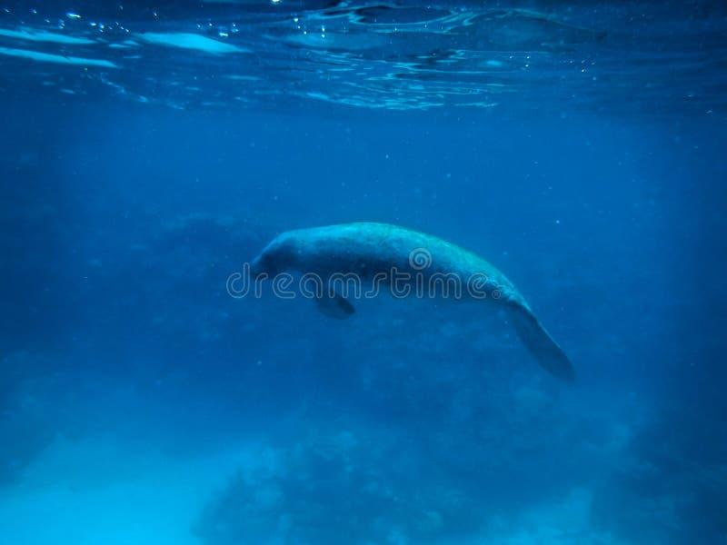 Manatee subacqueo in calafato marino caraibico di Caye, Belize fotografia stock