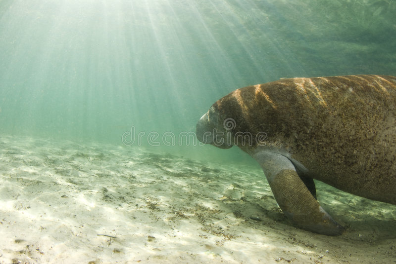 Manatee with Sunrays. An algae covered Manatee (Trichechus manatus latirostrus) swims towards the shining sun in the springs of Crystal River, Florida stock image