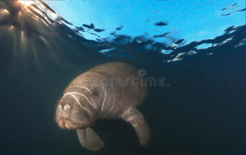 Manatee at surface just after dawn. This young manatee was photographed right after sunrise in a warm Florida freshwater spring. During the winter, Manatees royalty free stock photos