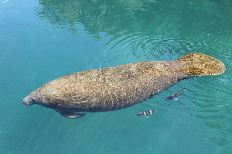 Manatee royalty free stock images