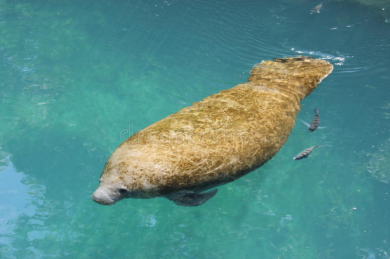 Manatee. A manatee swimming in a crystal clear river royalty free stock images