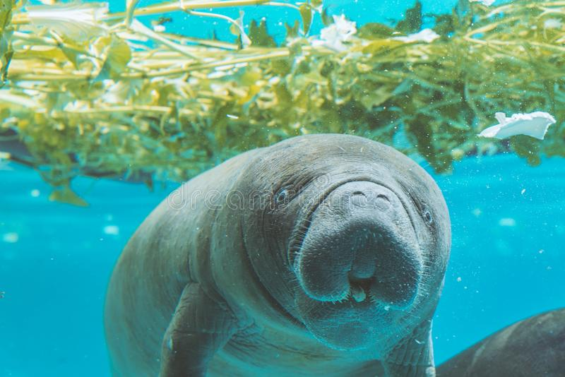 Manatee under water. In a zoo look at camera royalty free stock photo