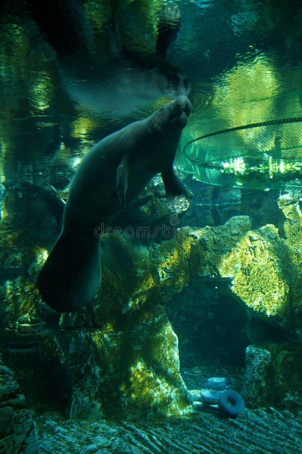 Manatee Underwater Free Public Domain Cc0 Image