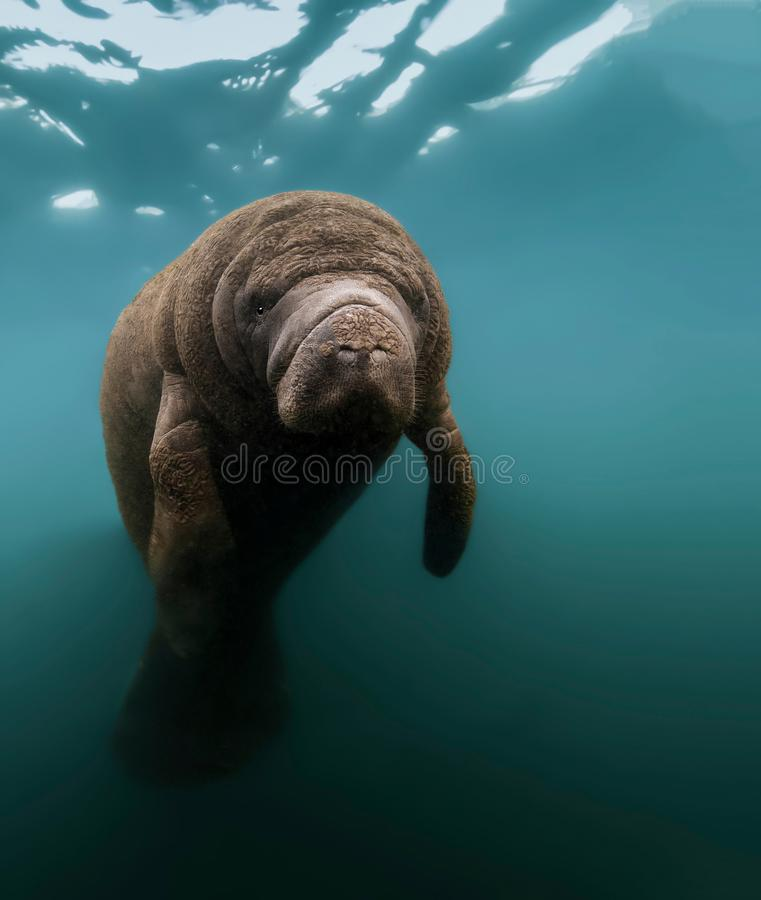 Resting Manatee Portrait. This manatee was resting serenely just below the surface in a warm Florida fresh water spring. During the winter, Manatees gather near stock photo