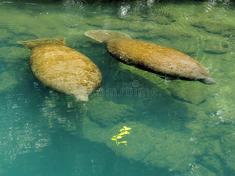 Manatees i natur arkivfoto
