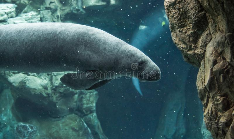 Manatis, das unter Wasser schwimmt lizenzfreie stockbilder