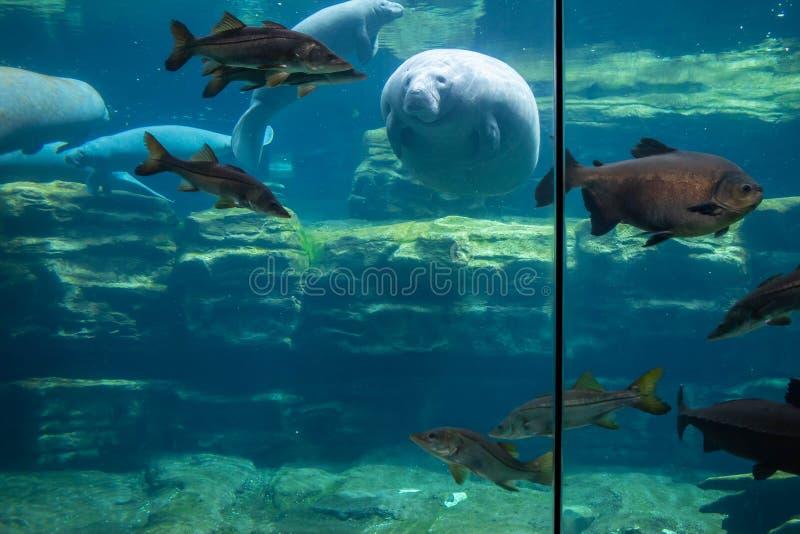 Manatis und Fische Unterwasser bei Seaworld 2 stockbild