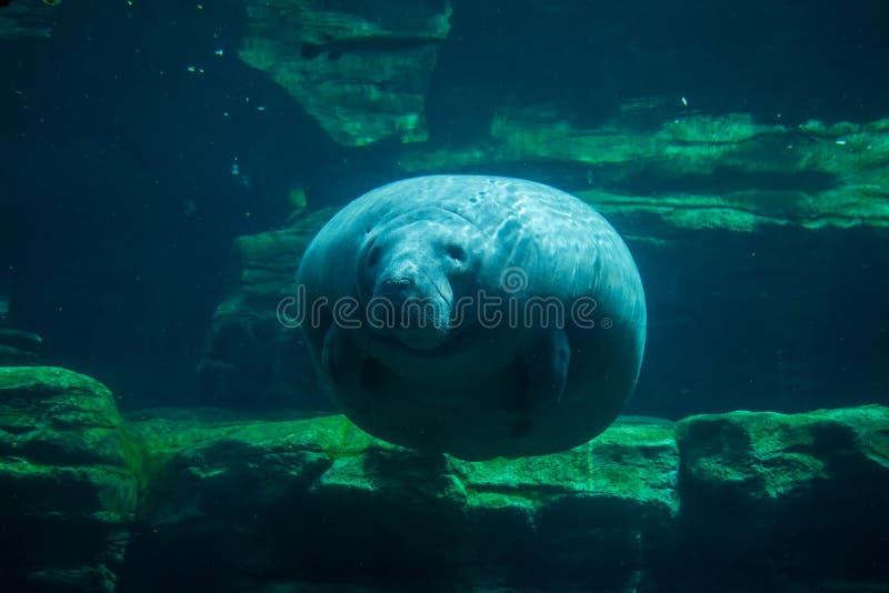 Manatis und Fische Unterwasser bei Seaworld 3 stockbild