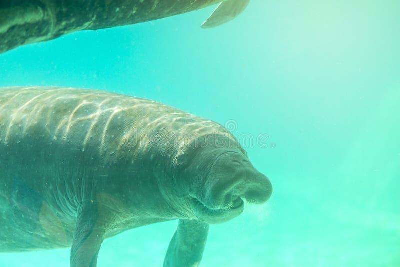 Manatis Unterwasser mit lächelndem Gesicht lizenzfreie stockfotografie