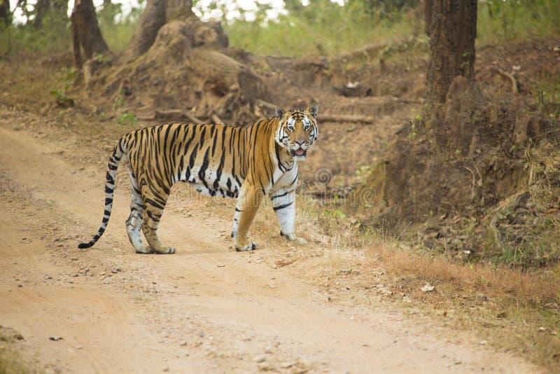 ManBengal tiger, Kanha, Indien arkivbilder