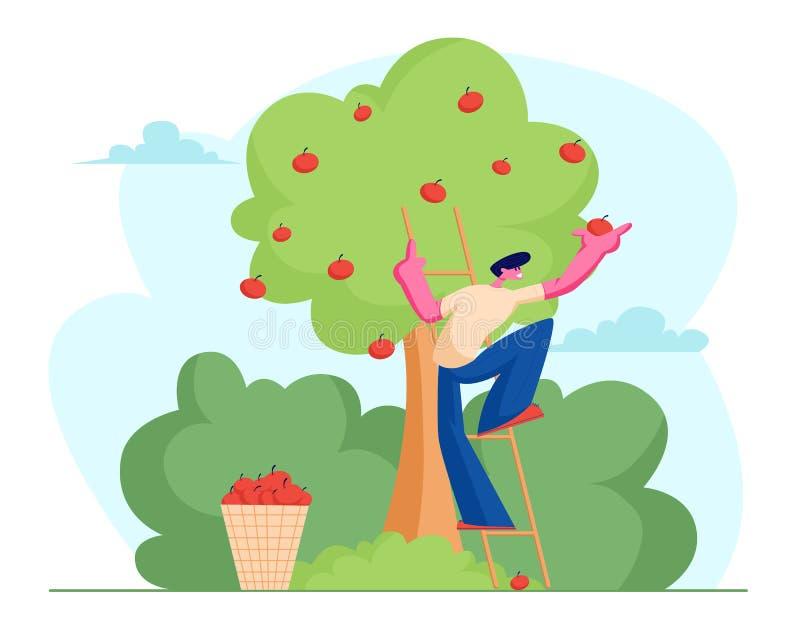 Manbonde Pick Apples till korgen Den manliga trädgårdsmästaren Character Harvesting Ripe bär frukt från grönt organiskt träd i la vektor illustrationer