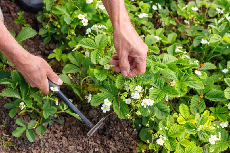 Manbonde som att bry sig för jordgubbegroddar i det fria arkivbilder