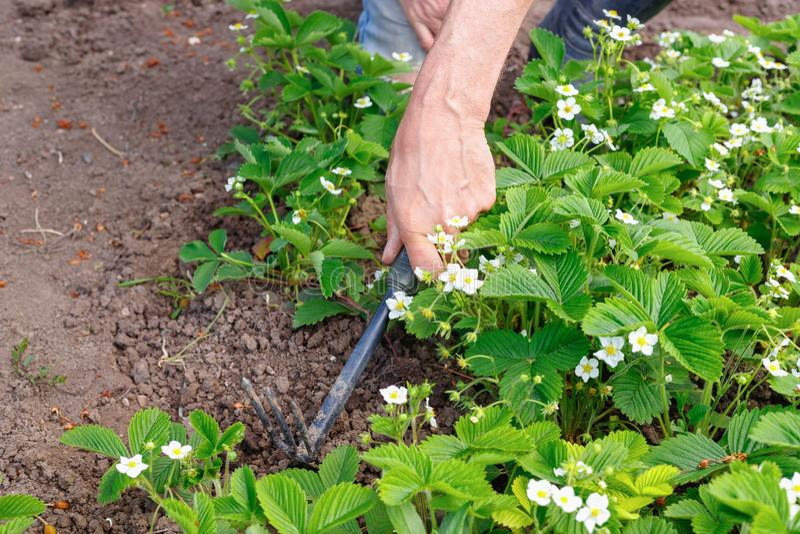 Manbonde som att bry sig för jordgubbegroddar i det fria royaltyfria bilder