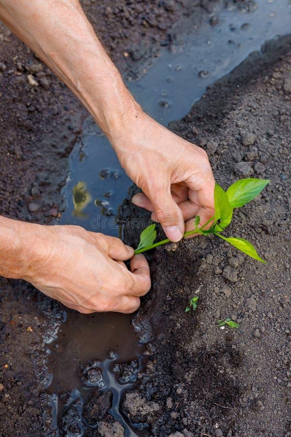 Manbonde som utomhus planterar pepparplantor i trädgård royaltyfri foto