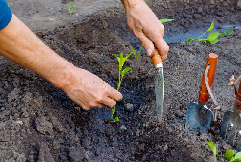 Manbonde som utomhus planterar pepparplantor i trädgård arkivbilder