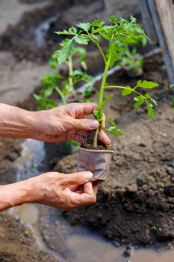 Manbonde som utomhus planterar tomatplantor i trädgård arkivbild