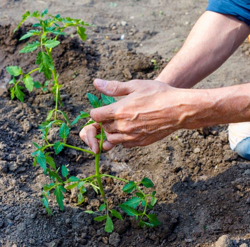 Manbonde som utomhus planterar tomatplantor i trädgård royaltyfri fotografi