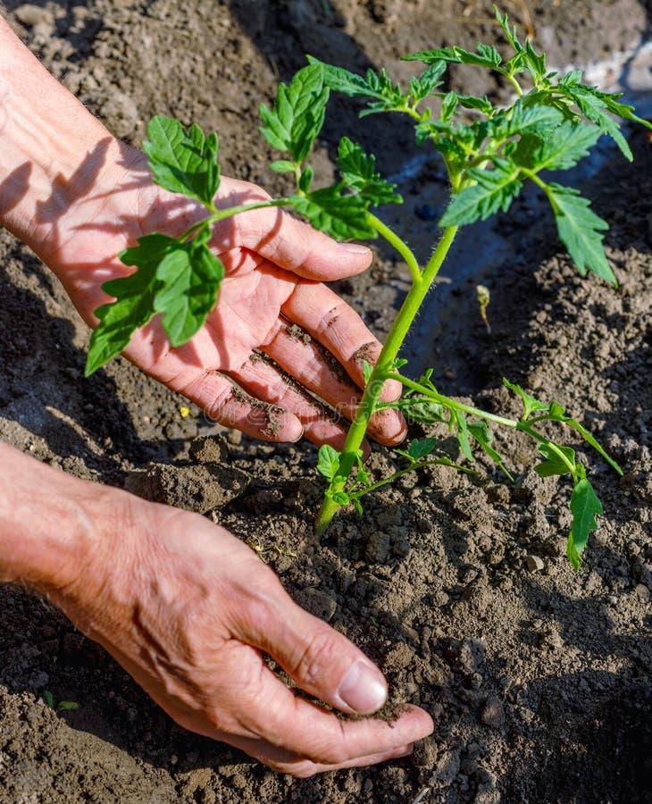 Manbonde som utomhus planterar tomatplantor i trädgård fotografering för bildbyråer
