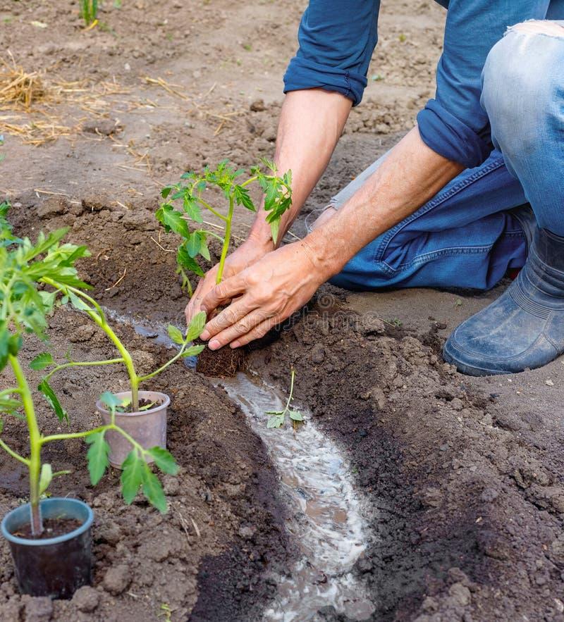 Manbonde som utomhus planterar tomatplantor i trädgård royaltyfri foto