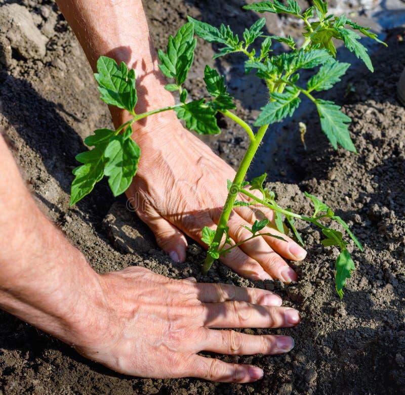 Manbonde som utomhus planterar tomatplantor i trädgård arkivfoton